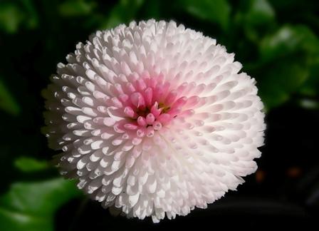 Pomponette White/ Rose