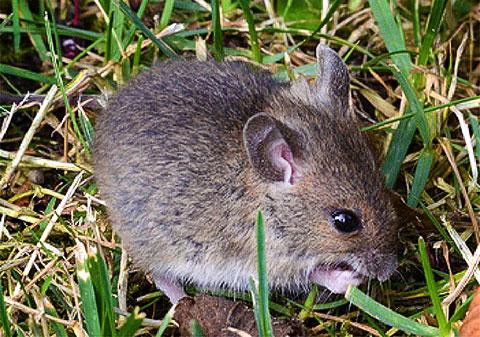 Poljski miš  (Apodemus sylvaticus)