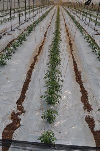 Zasad paradajza na podlozi optiflora