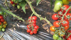Zasad nove sorte paradajza Pepita
